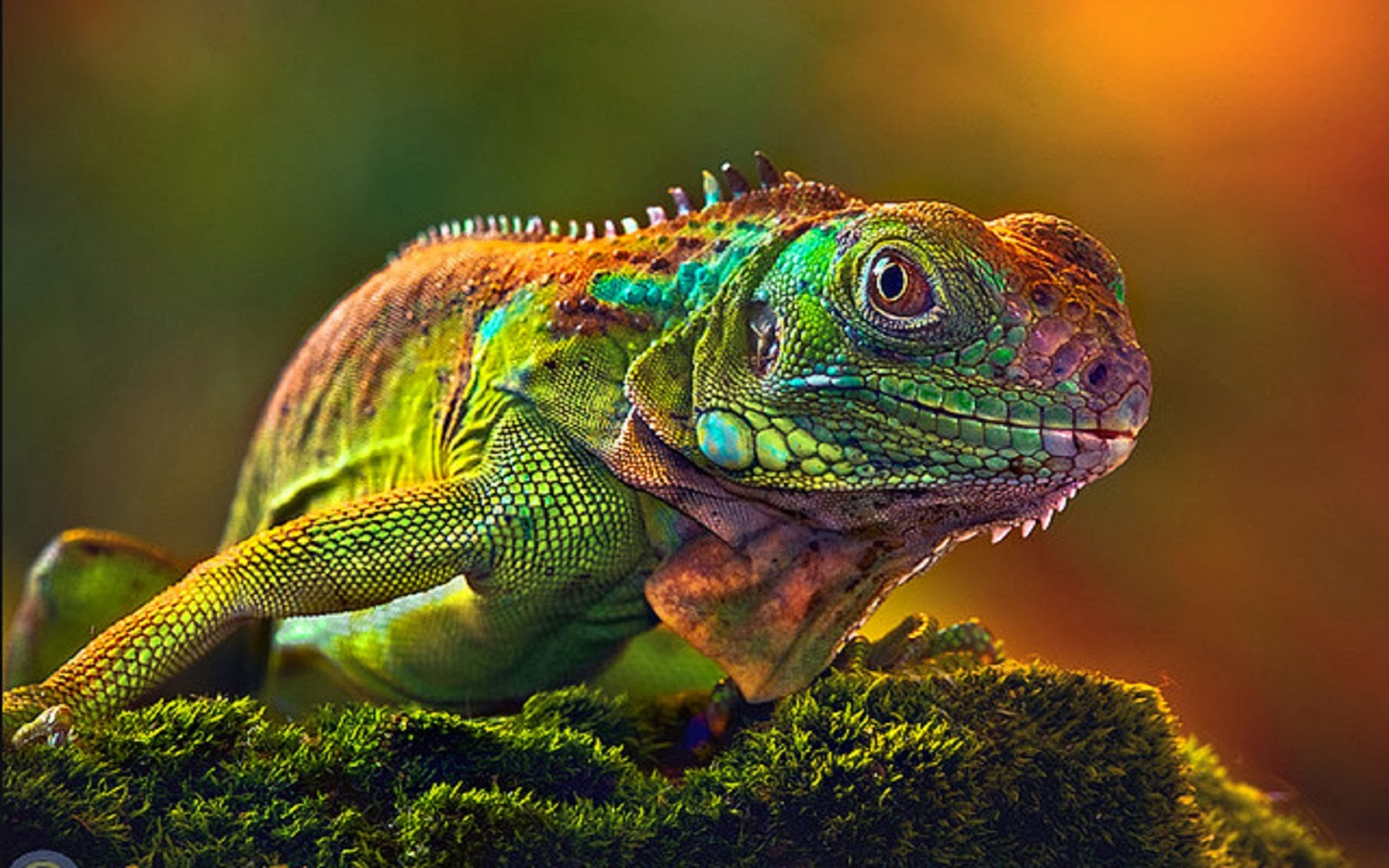 Wallpaper-HD-Camaleon-Some-lizards-change-color-very-quickly-1920x1200