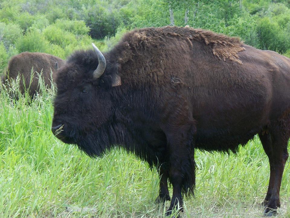 buffalo-869878_960_720