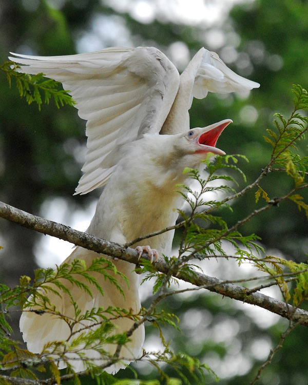 white-raven2