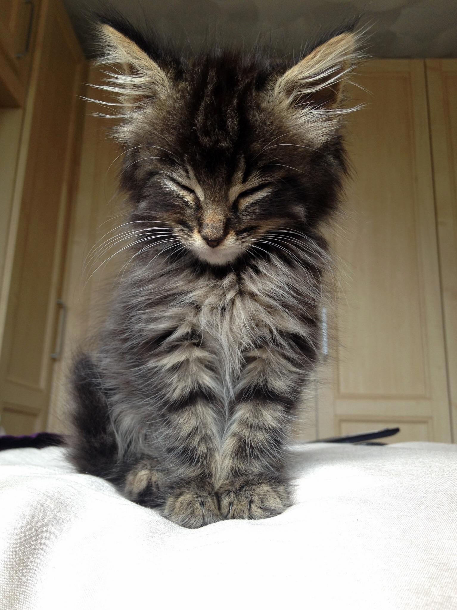 Tired-fluffy-kitten.