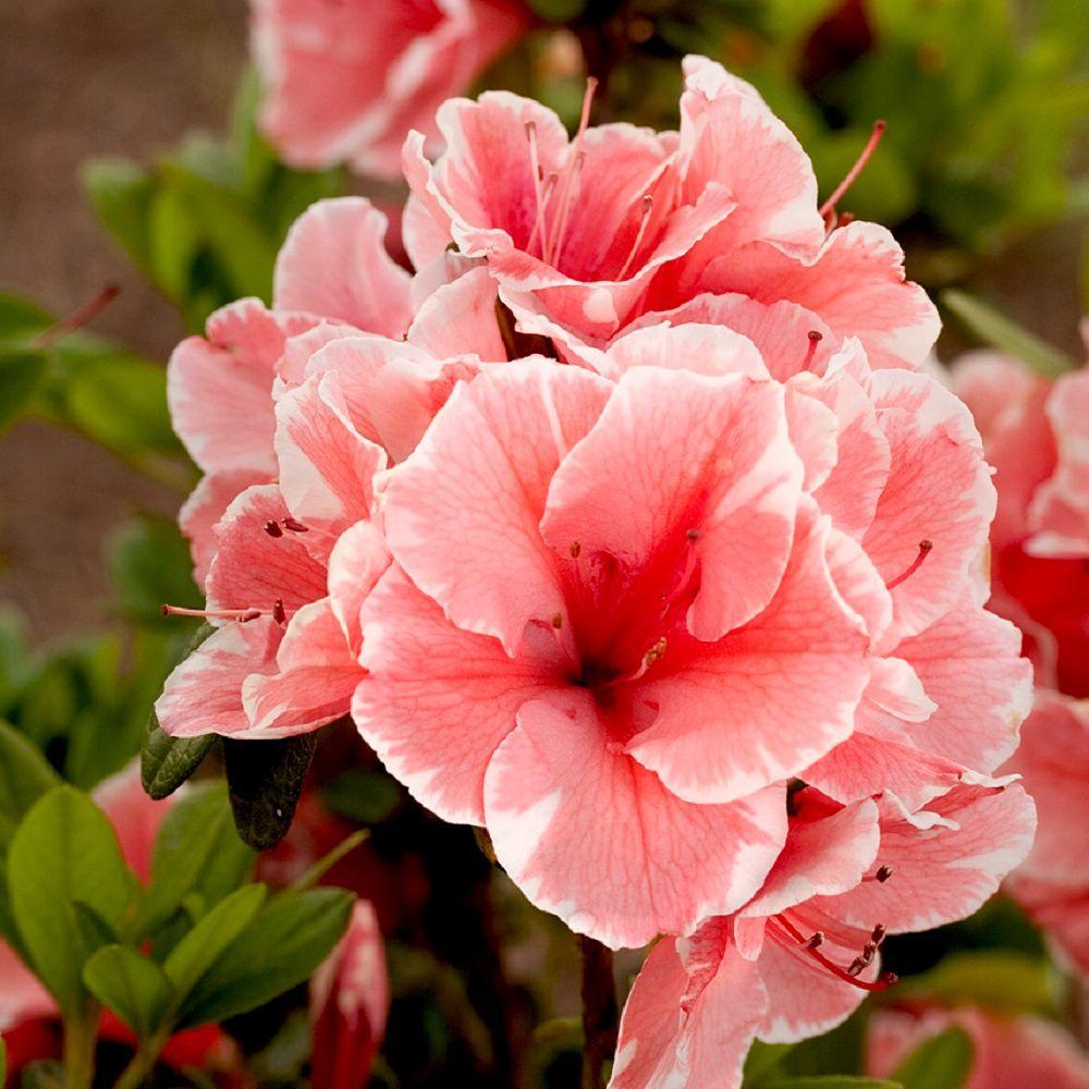 encore-azalea-shrubs-80691-64_1000