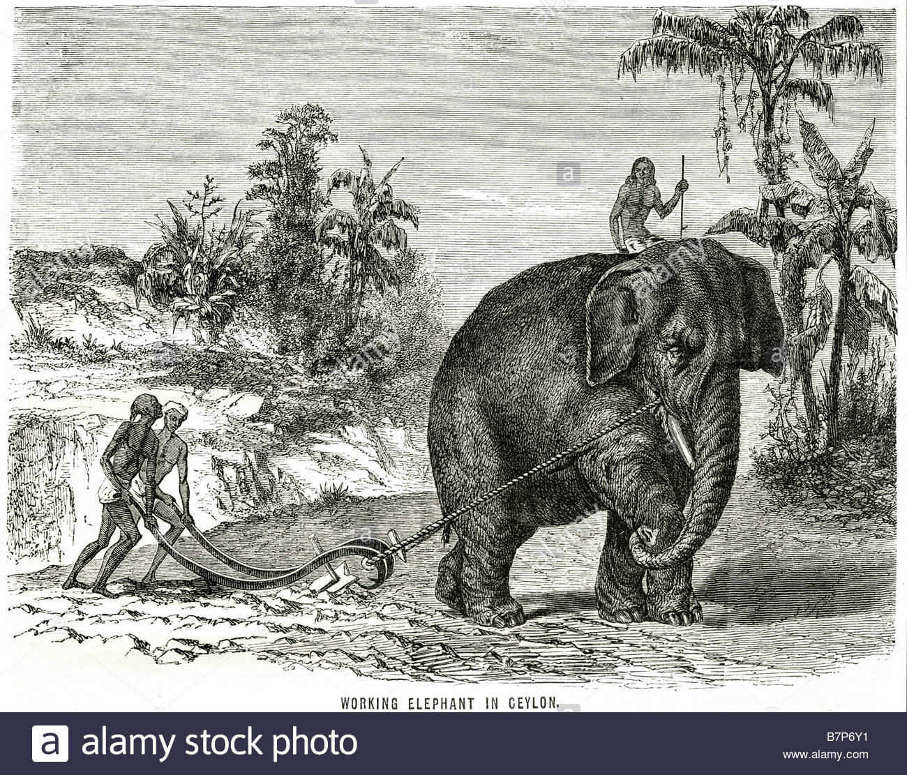 working-elephant-ceylon-animal-farming-land-traditional-wildlife-nature-B7P6Y1