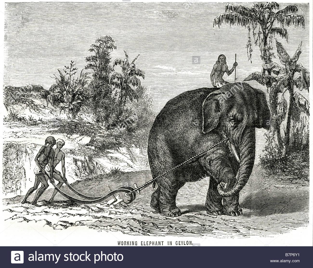 working-elephant-ceylon-animal-farming-land-traditional-wildlife-nature-B7P6Y1