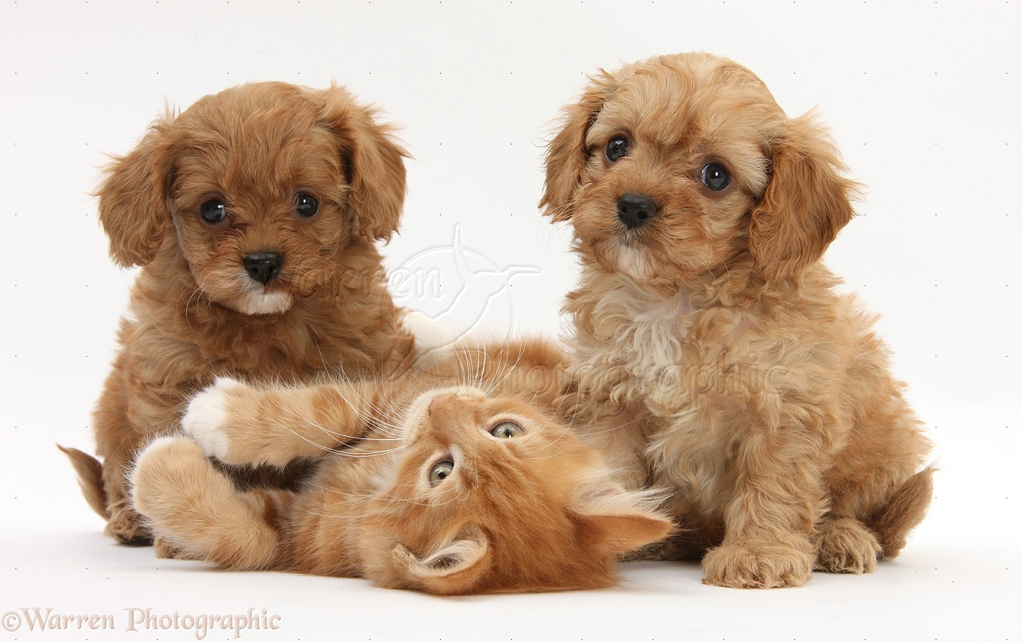 Ginger kitten, Butch, 9 weeks old, and Cavapoo pups
