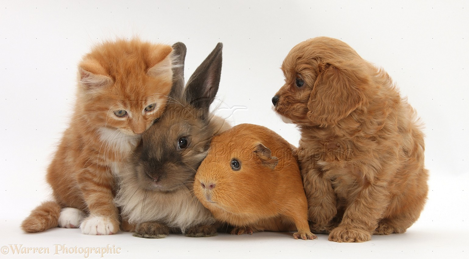 25575-Ginger-kitten-with-Cavapoo-pup-rabbit-and-Guinea-pig-white-background