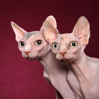sphynx-cat-picture-3