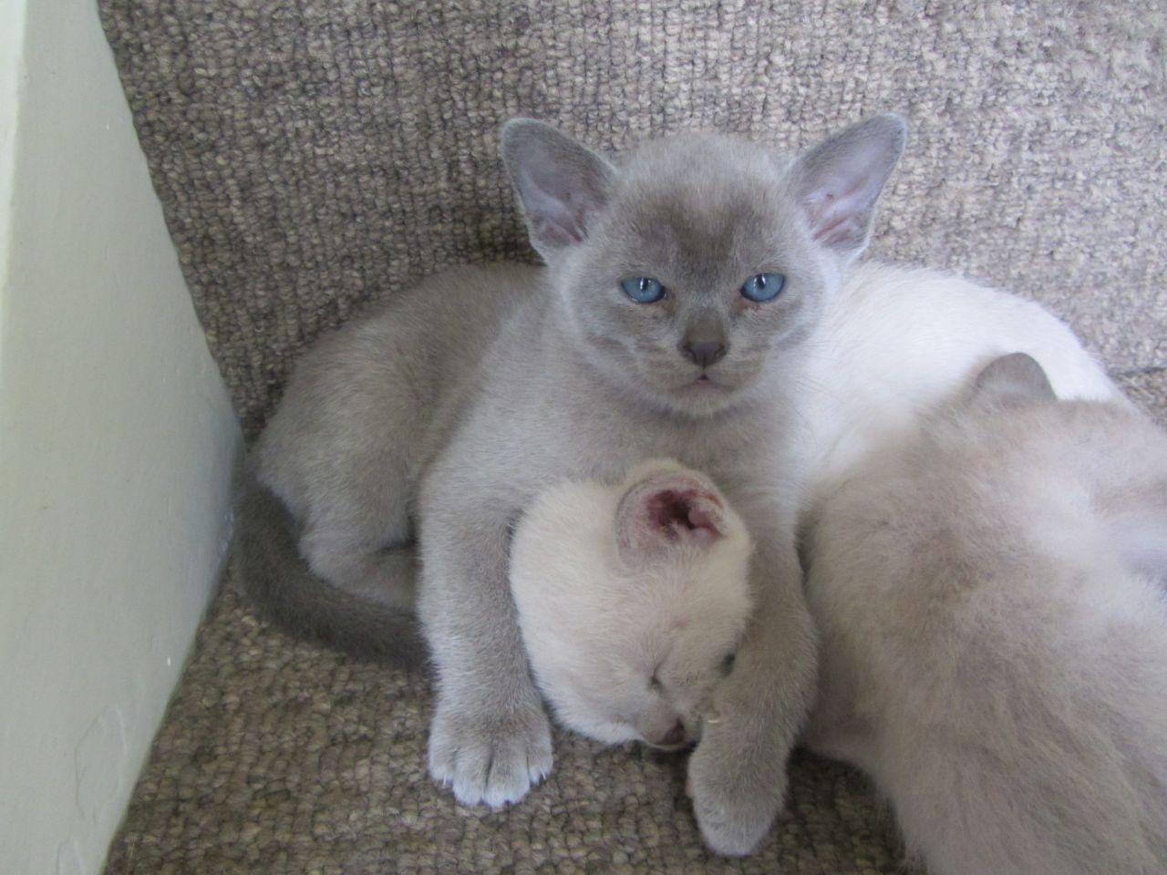 stunning-blue-burmese-kittens-52377589ec570