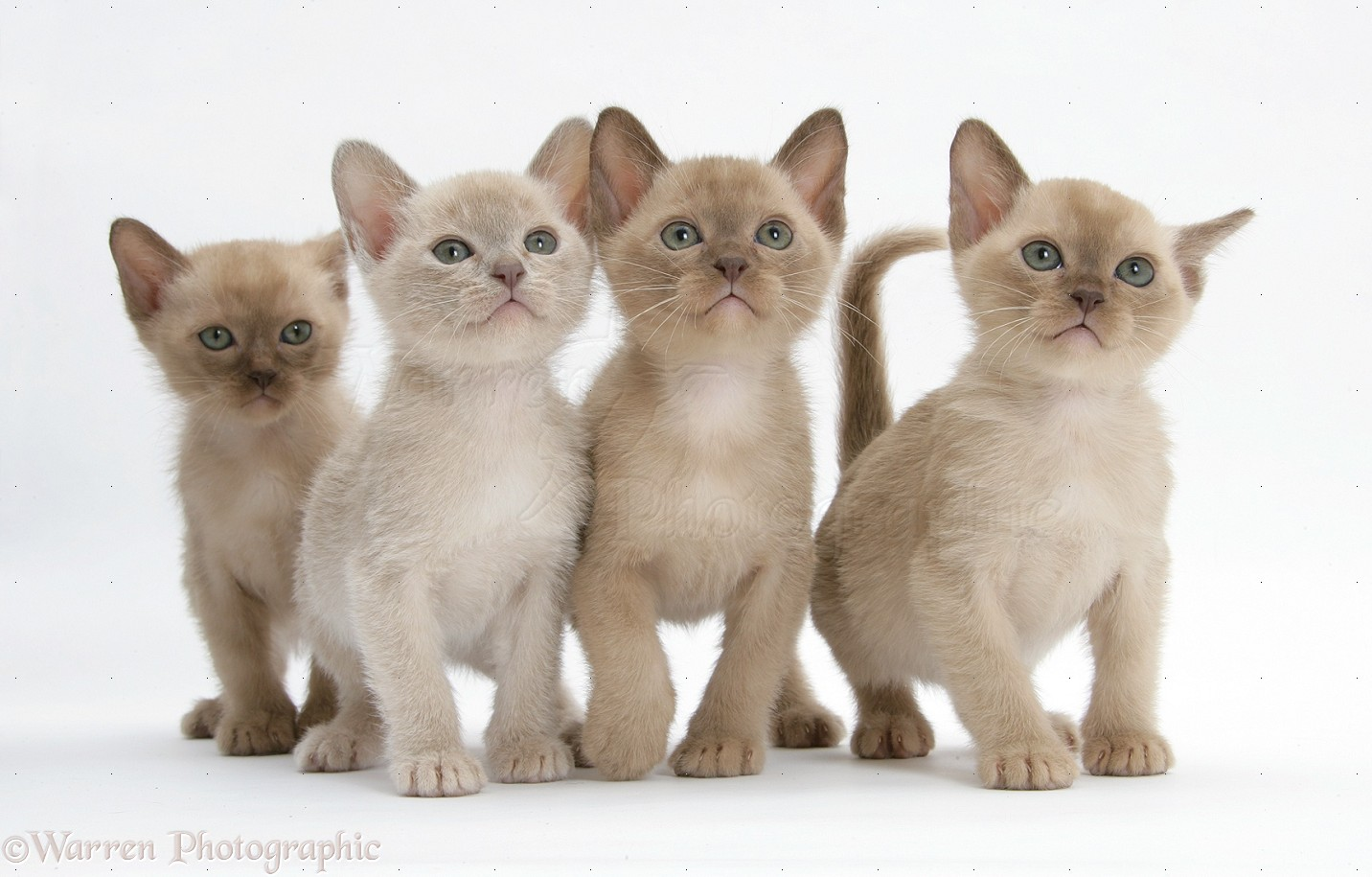 28623-Burmese-kittens-7-weeks-old-white-background
