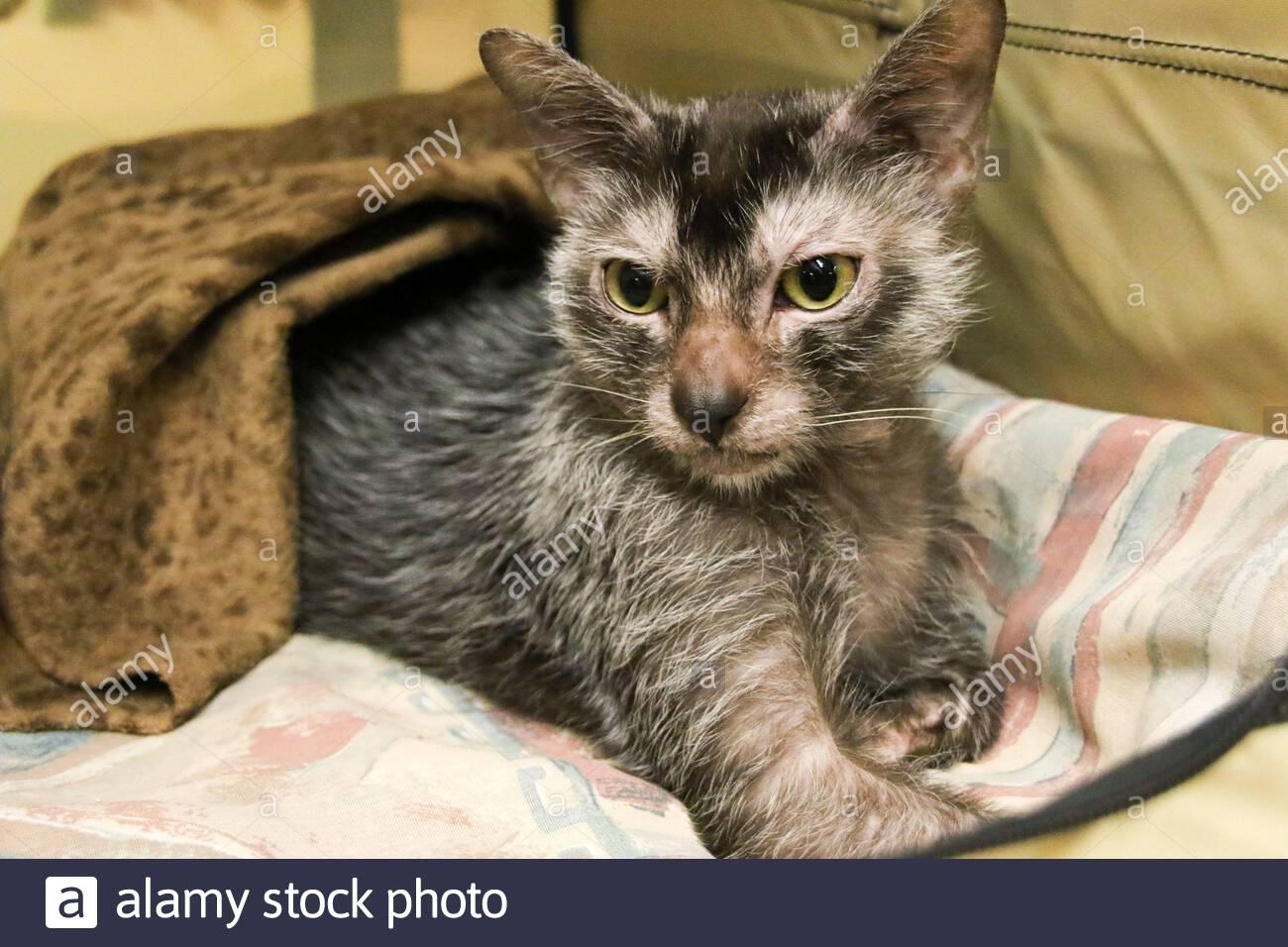 lykoi-cat-at-all-breed-cat-show-mesa-arizona-2BMR52J