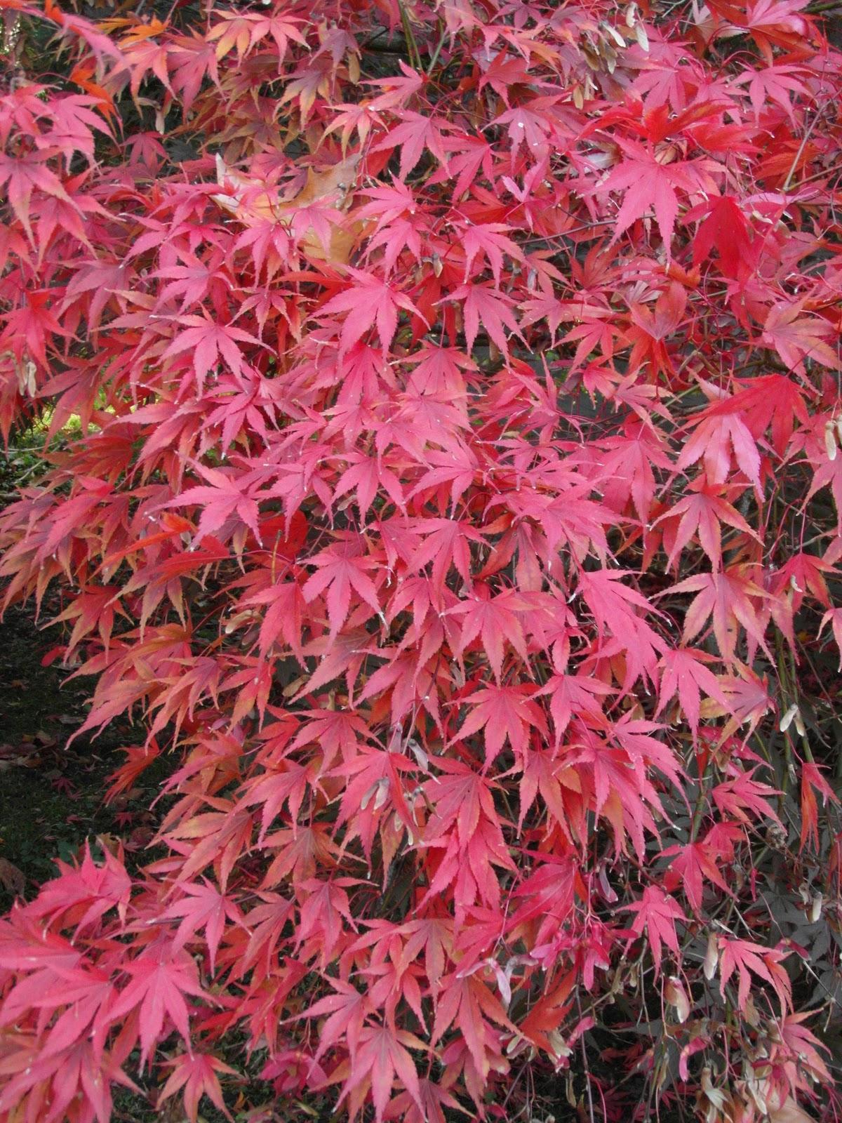 Acer.palmatum.Nicholsonii