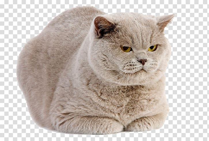 british-shorthair-scottish-fold-american-shorthair-kitten-fat-cat-ferocious
