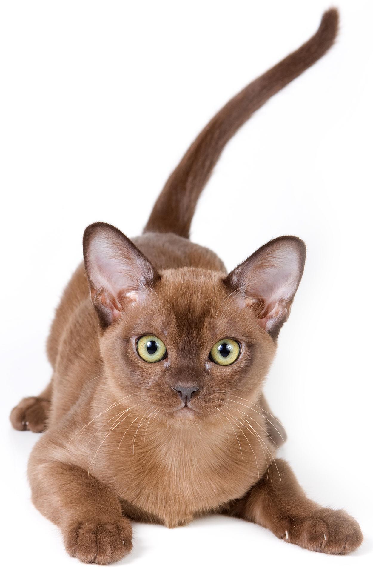 burmese-cat-names-2