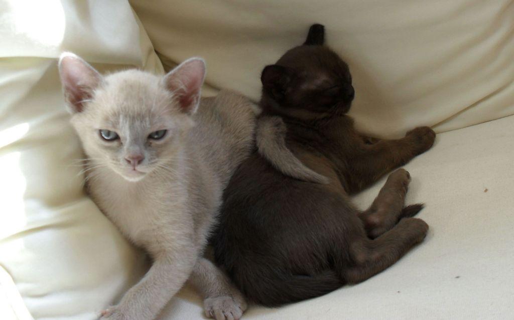burmese-kittens-for-sale-5182218593ded