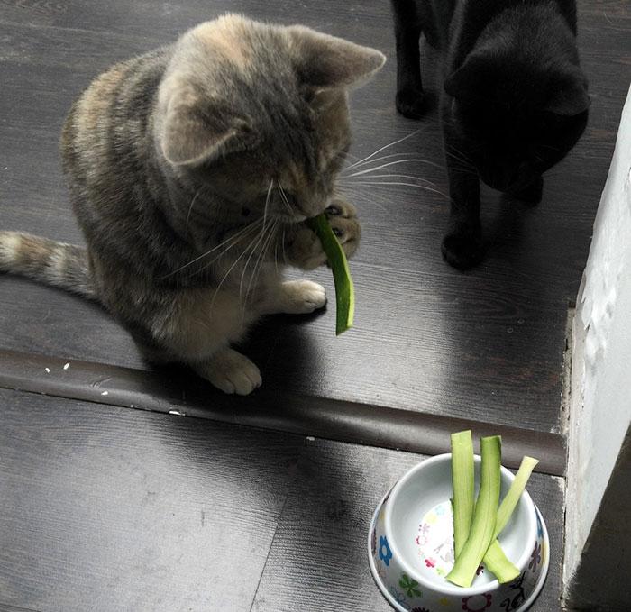 weird-cats-eaiting-human-food-11__700