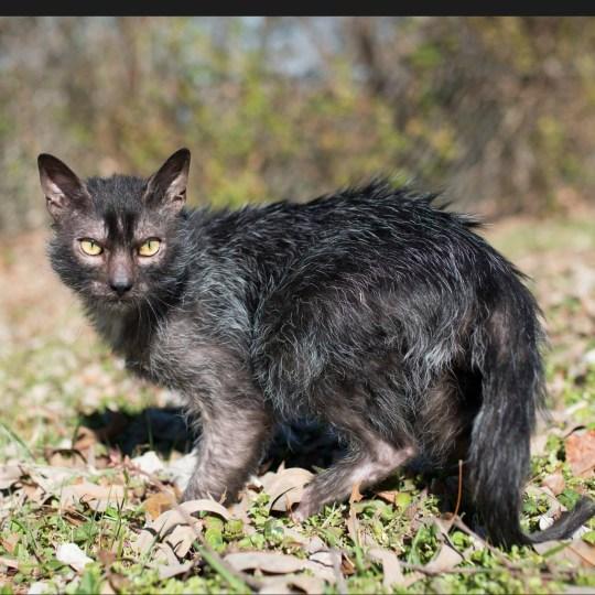 werewolfcat